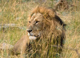 Banding together to ban trophy hunting and protect African lion livelihood   Trophy Hunting: It's Impact on Wildlife and People   Scoop.it