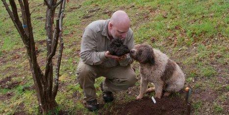 Une truffe géante de 1,5 kg déterrée... mais pas dans le Périgord ! | Agriculture en Dordogne | Scoop.it