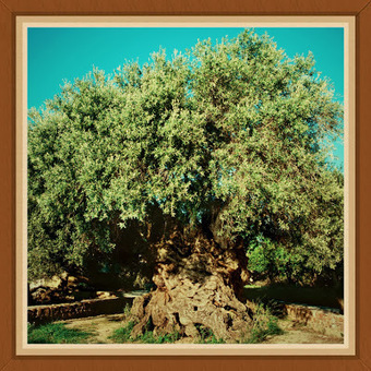 CretaVita : The Monumental Olive Tree of Vouves - Natural Heritage Monument | CretaVita Extra Virgin Olive Oil Producer #OliveOil #EVOO | Scoop.it
