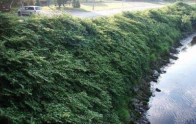 Plantes envahissantes: l'invasion des clones | Les envahisseurs | Scoop.it