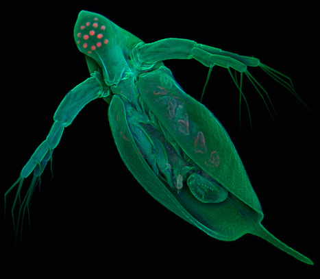 » Tiny Water Flea Has More Genes Than You Do   Genomique   Scoop.it