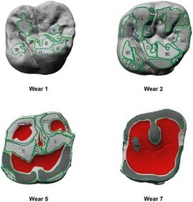 PLOS ONE: Molar Macrowear Reveals Neanderthal Eco-Geographic Dietary Variation | Archaeology Articles and Books | Scoop.it