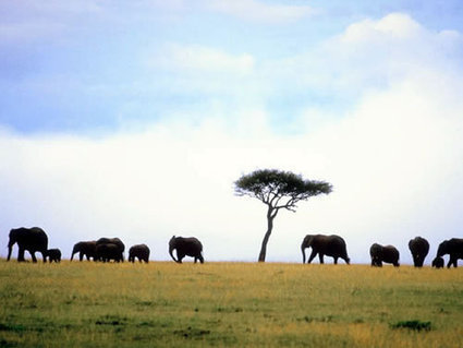 Initial count from Amboseli is good news for elephants | Wildlife and Environmental Conservation | Scoop.it