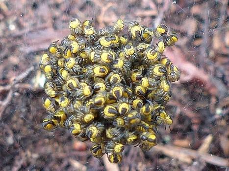Global : Photos d'Araignées du Québec - Arachnides québécois - Araignée - Arachnide - Photos of Spiders of Canada - Quebec Arachnids - Page 2 | Fauna Free Pics - Public Domain - Photos gratuites d'animaux | Scoop.it