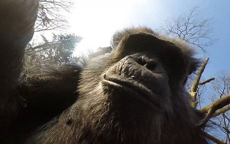 Chimpanzee Whacks Camera Drone Out of Mid-Air with a Stick | Weblese | Scoop.it