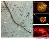 ScienceDirect.com - Current Opinion in Plant Biology - Genetic and genomic glimpses of the elusive arbuscular mycorrhizal fungi | Plant Genomics | Scoop.it