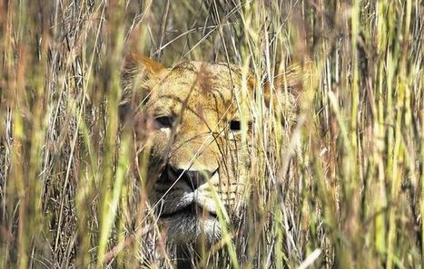 The Lion Trophy Hunting Debate | Corinne | Scoop.it