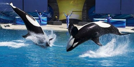 Aux Etats-Unis, il n'y aura bientôt plus d'orques en captivité | Des infos sur notre planète : ecologie , biodiversité | Scoop.it