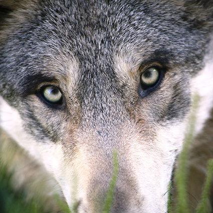 Victoire des Français et des loups ! - ASPAS : Association pour la Protection des Animaux Sauvages | Loup | Scoop.it