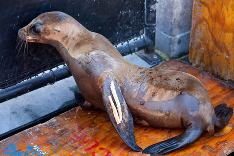 #Scientists Investigate a Mysterious #Cancer Plaguing #California Sea Lions | Messenger for mother Earth | Scoop.it