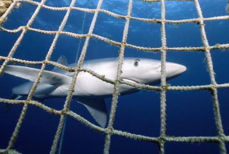 'Wall of Death' Decimates #Britain's #Sharks !!! | Rescue our Ocean's & it's species from Man's Pollution! | Scoop.it