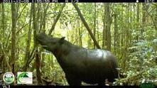 Wildlife Extra News - Last attempt to save wild Sumatran rhinoceros from extinction | GarryRogers NatCon News | Scoop.it