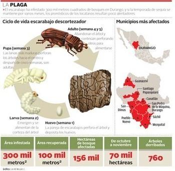 Una plaga arrasa con bosques en Durango | Agua | Scoop.it