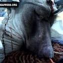 Vivisezione – I babbuini (inglesi) a cranio aperto sperimentati in Kenya - GeaPress | STOP VIVISECTION | Scoop.it
