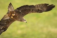 Wildlife Extra News - 779 raptors killed illegally in Scotland during last 20 years says new report   Wildlife and Conservation   Scoop.it