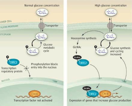 CRTC2: Scientists Unravel the Molecular Secret of Short, Intense Workouts | Amazing Science | Scoop.it