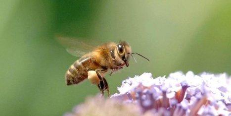 Surmortalité des abeilles : les insecticides néocotinoïdes interdits dès 2018 | Agriculture en Dordogne | Scoop.it