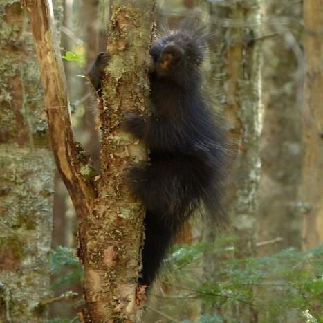 Photos de mammifères : Porc-épic d'Amérique - Erethizon dorsatum - North American Porcupine | Faaxaal Forum Photos gratuite Faune et Flore | Scoop.it