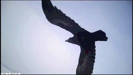 Head-mounted cameras capture falcons' killer strategy – video | Carlos luna's CE - Zoology | Scoop.it