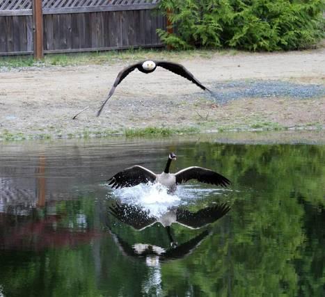 Battle between American eagle and Canada goose caught on camera   Tech Education   スリランカにて、英語ベースのプログラミング学校開校!   Scoop.it