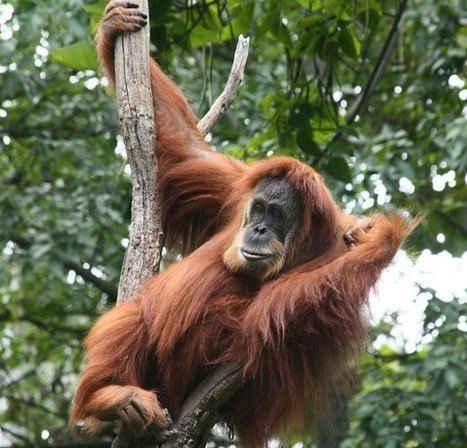Good News for Orangutans…Or Is It? - Conservation Articles & Blogs - CJ   Volunteer in Africa   Scoop.it