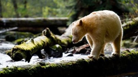 Landmark deal to protect Canada Great Bear Rainforest - BBC News | Jeff Morris | Scoop.it
