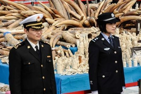 Opinion: China's Ivory Crush Is Important First Step | Saving All Animals | Scoop.it