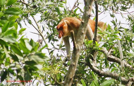 Photo 178   BEKANTAN -WILD INDONESIA   Bekantan - Wild Indonesia   Scoop.it