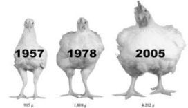 Chickens are getting bigger. | Strange days indeed... | Scoop.it