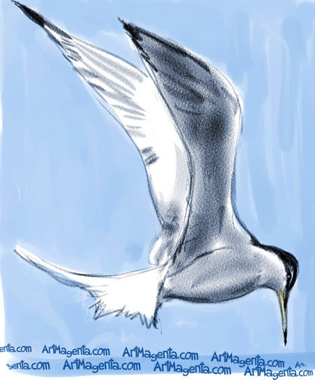 Bird of the Day: Little Tern   Birding in the news   Scoop.it