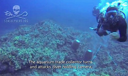 Sea Shepherd Diver Viciously Attacked by Wildlife Trafficker While Documenting Aquarium Trade in Hawaii | EcoWatch | Scoop.it