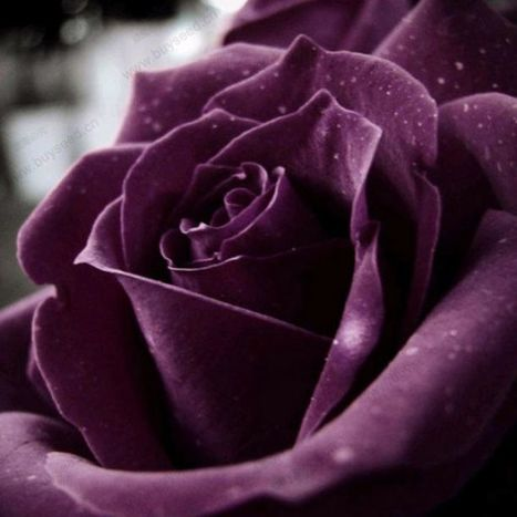 #purple #rose — #mySestina #love #4U  @barkinet #fb | Engineer Betatester | Scoop.it