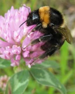 Liberan abejas que estaban extintas - Ciencia - El Universal | Activismo en la RED | Scoop.it