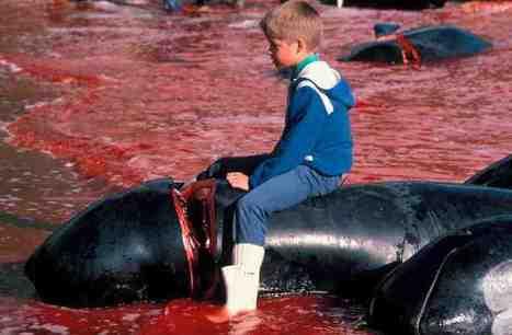 Le massacre de centaines de dauphins se perpétue dans les îles Féroé (Danemark)   Nature Animals humankind   Scoop.it