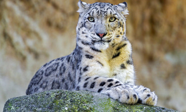 Cats Are Going Extinct: 12 Most Endangered Feline Species | Care2 ... | Cats Rule the World | Scoop.it