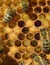 Scientists discover bees can 'turn back time,' reverse brain aging | Health Studies Updates | Scoop.it