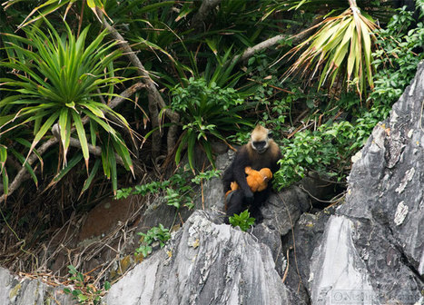 The Cat Ba Langur: a primate walks the razor's edge of extinction - Mongabay.com | GarryRogers NatCon News | Scoop.it