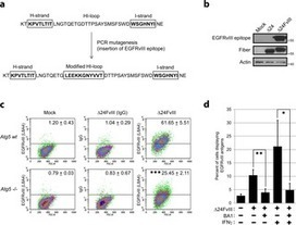 Critical Role of Autophagy in the Processing of Adenovirus Capsid-Incorporated Cancer-Specific Antigens | Melanoma BRAF Inhibitors Review | Scoop.it