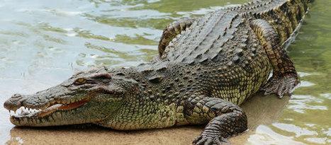 Crocodylus niloticus, the Nile crocodile | Classifieds Advertisng Forex | Scoop.it