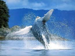 Where to spot #whales in #Sydney - Sydney Morning Herald | Rescue our Ocean's & it's species from Man's Pollution! | Scoop.it