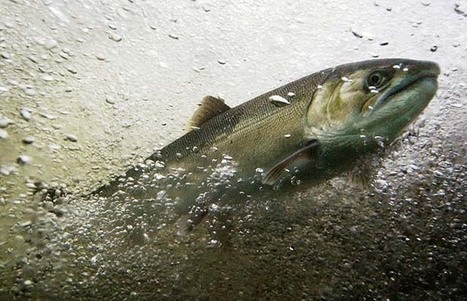 Virus confirmed, two B.C. salmon farms to cull fish | Viruses and Bioinformatics from Virology.uvic.ca | Scoop.it