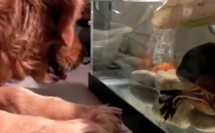 Golden Retriever Really Wants That Goldfish (Video) | Your Passions | Scoop