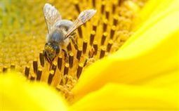 Pesticides pose danger to bees | European Voice | Natura educa | Scoop.it