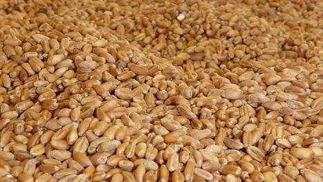 Matières premières - Le blé européen recule, l'Egypte a préféré acheter américain et russe   Égypt-actus   Scoop.it