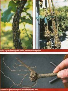First Report of Agrobacterium vitis as the Causal Agent of Grapevine Crown Gall in Serbia | Plant health | Scoop.it
