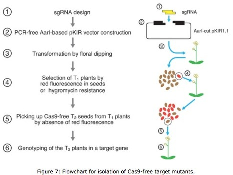 pKAMA-ITACHI vectors for highly efficient CRISPR/Cas9-mediated gene knockout in Arabidopsis thaliana | Interaction, and more... | Scoop.it