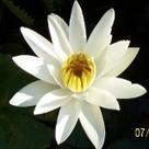Water Lilies, Lotus, and Marginal Aquatic Plants | aquaponics | Scoop.it