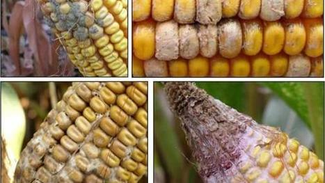 Weather extremes could cause corn ear molds | Corn content from Corn and Soybean Digest | Crops | Scoop.it