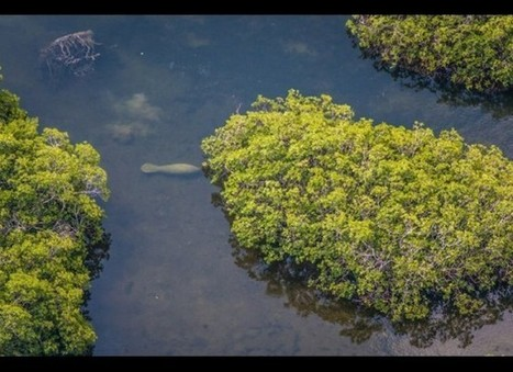 Record Number of Manatees Seen in Belize - The San Pedro Sun ... | Animals R Us | Scoop.it