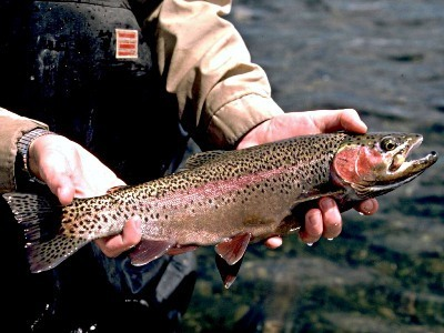 Types of Rainbow Trout | fishing 1 | Scoop.it